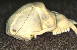 サルの頭蓋骨2