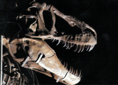 肉食恐竜の歯1