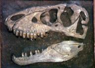 肉食恐竜の歯2