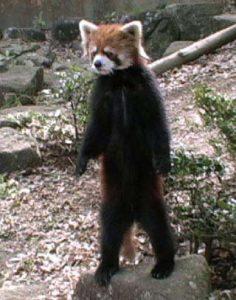 立ち上がったレッサーパンダの風太クン